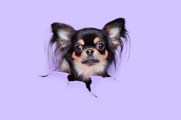 Chihuahua head against violet background