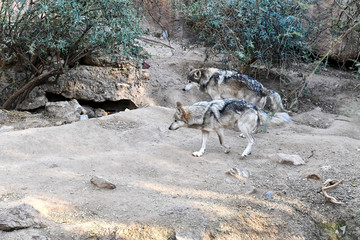 The rare endangered species Mexican Gray Wolf, native to Mexico and southwestern USA