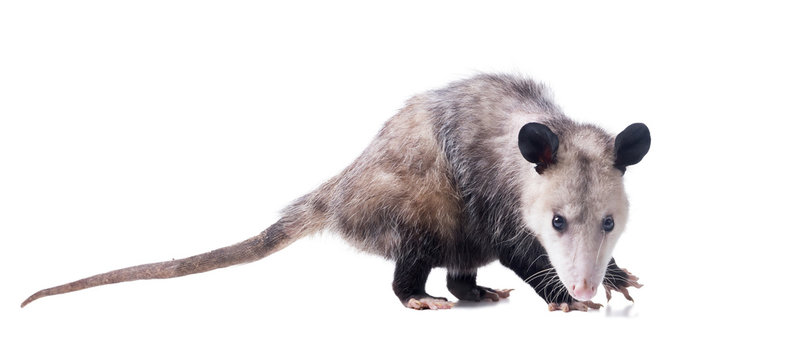 Female Virginia opossum (Didelphis virginiana) or common opossum looks at the viewer.  Isolated on white background