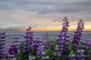 Mountain landscape view with violet or purple blooming lupine flowers on foreground in Westfjords, Iceland. Summer travel concept.