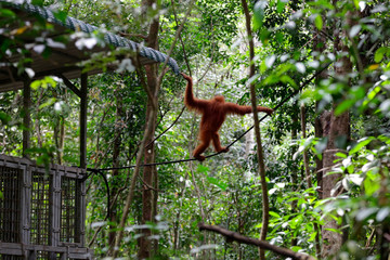 Orangutan of Sumatra hangs on a rope after it was released back into the wild by a Foundation for Sustainable Ecosystem and Nature Conservation Agency Aceh at the Jantho Nature Reserve reintroduction, in Aceh,  Indonesia