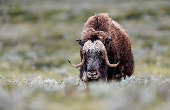 Musk ox (Ovibos moschatus) in autumn landscape in Dovre national