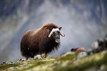 Musk ox (Ovibos moschatus) in autumn landscape in Dovre national park, Norway