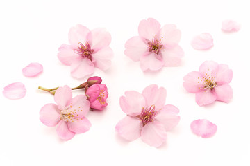 Keuken foto achterwand Kersenbloesem Cherry Blossoms White background