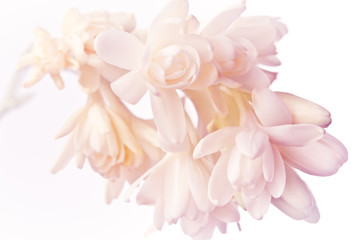 Tuinposter Bloemen Exotic white and pink tuberose flowers in soft light, nostalgic and romantic background texture.
