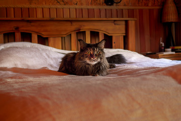 Cat main coon on the bed in evening room.