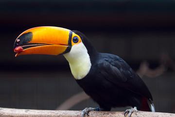 Foto op Plexiglas Toekan Toco toucanbird, toucan bird