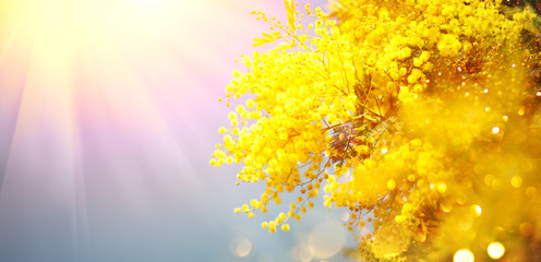 Klistermärke - Mimosa Spring Flowers Easter background. Holiday backdrop, border art design. Blooming mimosa tree over blue sky, bright sun flare. Mother's Day. Garden, gardening. Spring holiday blossom