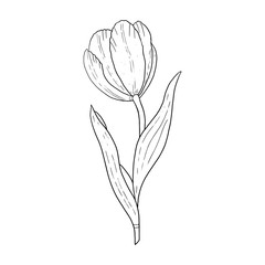 Tulip hand drawn outline drawing.Black and white image.Stylized image of a Tulip flower.One Tulip isolated on a white background..Vector