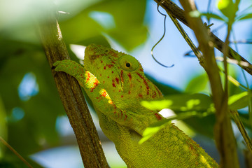 Aluminium Prints Chameleon Green and red chameleon or cameleon in a tree close to Madagascars island Nosy Be