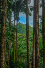Fotobehang Bleke violet Tropical Rainforest Jungle With Mountain in the Background in Hawaii