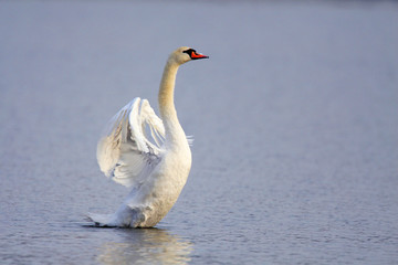 Single Mute Swan bird - latin Cygnus olor - on a water surface during the spring mating season in wetlands of north-eastern Poland