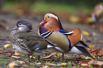 Pair of Mandarin Duck birds - latin Aix galericulata - bird natively inhabiting East Asia, in a spring mating season in a city park