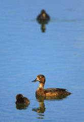 Adult female Tufted Duck bird with juvenile nestlings - latin Aythya fuligula - on a water surface during the spring mating season in wetlands of north-eastern Poland