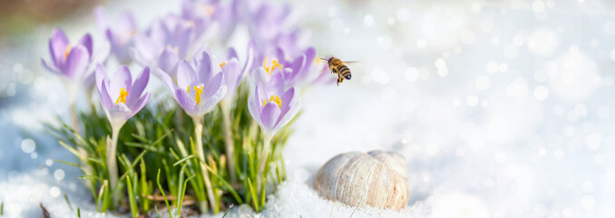 Fotorolgordijn Krokussen Endlich Frühling - die erste Biene sammelt an Krokussen ihren Nektar, eine Weinbergschnecke hält noch ihren Winterschlaf im Schnee