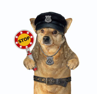 The beige dog policeman is wearing in a black hat, a police badge around his neck and a stainless steel belt. He holds a stop sign. White background. Isolated.