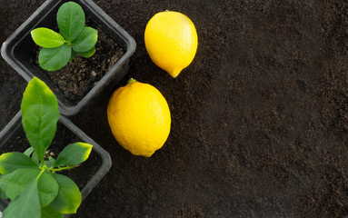 Lemon trees and lemons in the background of the ground