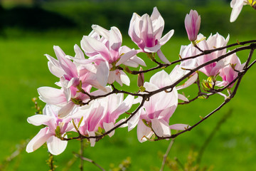 blooming branches of magnolia in sunlight. wonderful nature background in spring