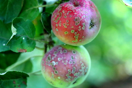 Apple scab , sooty blotch Venturia inaequalis . Apple diseases . Brown spots on apple fruit