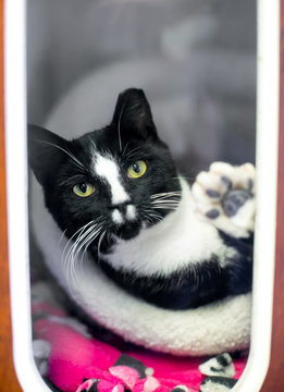 A black and white Tuxedo cat in an animal shelter cage with its ear tipped, indicating that it has been spayed or neutered and vaccinated as part of a Trap Neuter Return program