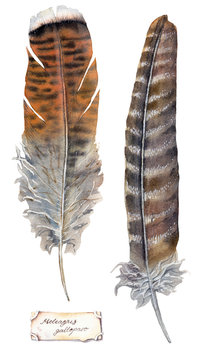 watercolor illustration - large turkey feathers