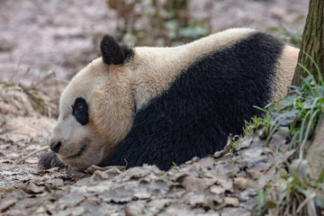 Fotomurales - Sleepy Panda Bear resting in the forest, China Wildlife. Bifengxia nature reserve, Sichuan Province. Cute Lazy Baby Panda Sleeping on the ground, Enjoying an afternoon nap with eyes open.