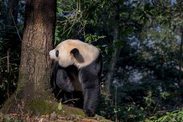 Wall Mural - Curious Panda Bear