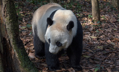 Fotomurales - Front View of Panda Bear
