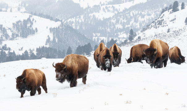 Yellowstone Bison in Winter Snows