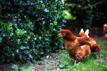 Stores à enrouleur Poules hen and chicks