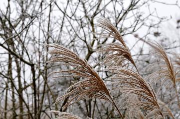 chinese silver grass in a winter garden