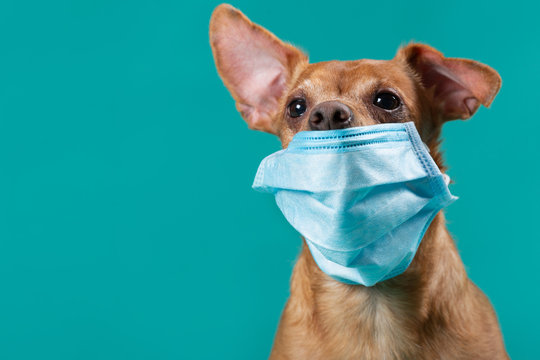 brown dog with a medical mask on his face, protruding ear, medicine and virus protection concept, close up