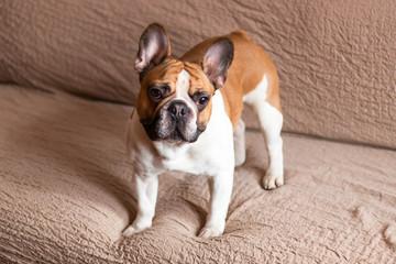 Foto op Plexiglas Franse bulldog Portrait of cute french bulldog , white and brown small dog.