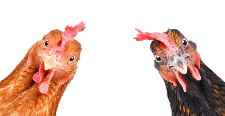 Photo sur Toile Poules Portrait of a funny chickens, closeup, isolated on white background