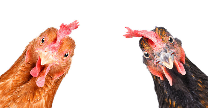 Portrait of a  funny chickens, closeup, isolated on white background