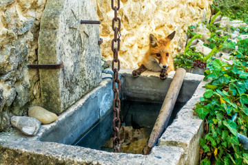 Durst - Fuchs trinkt wegen Wassermangels am Brunnen