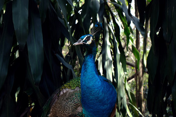 male peacock in the nature