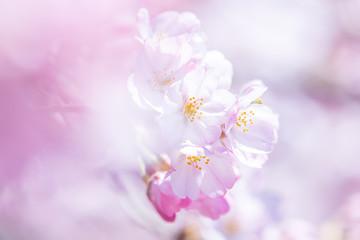 Keuken foto achterwand Kersenbloesem 桜 cherry blossom 8