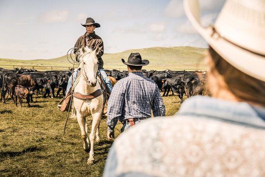 Cowboy riding his horse with lasso during a branding. Cody, Wyoming, USA