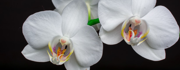 white orchids  flowers black background
