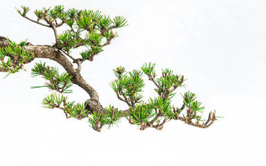 A close-up of the branches of a pine bonsai isolated on white background.