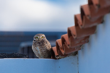 Owl on rooftop