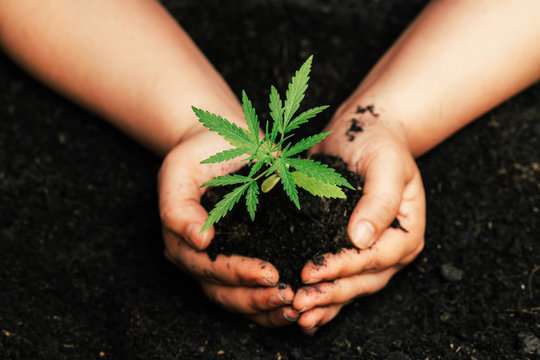 A small plant of cannabis seedlings at the stage of vegetation planted in the ground  a beautiful background,of cultivation in an indoor marijuana