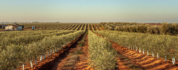 Young olive trees grove in Alentejo Portugal