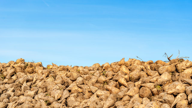 Sugar beet pile at the field after harvest on classic blue sky background. Agriculture concept.