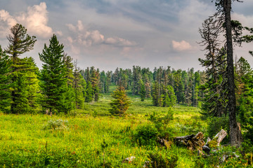 Zelfklevend Fotobehang Donkergrijs Summer evening in wild taiga, beautiful landscape at meadow with fresh green grass near cedar trees, Siberia, Russia