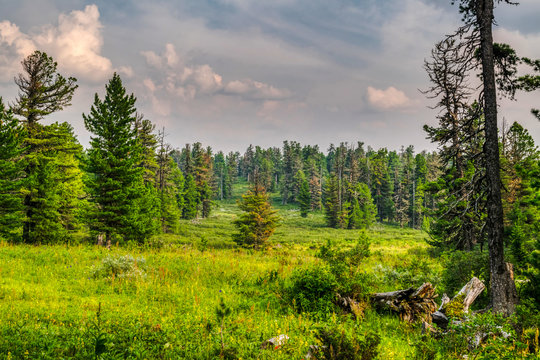 Summer evening in wild taiga, beautiful landscape at meadow with fresh green grass near cedar trees, Siberia, Russia