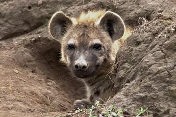 Garden Poster Hyena hyena in africa from the den