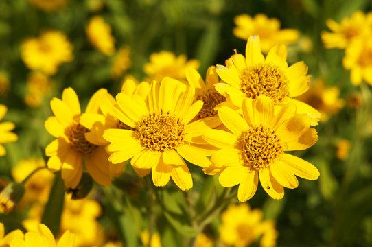 Arnica foliosa yellow flowers in grden
