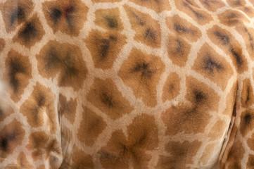 giraffe fur background